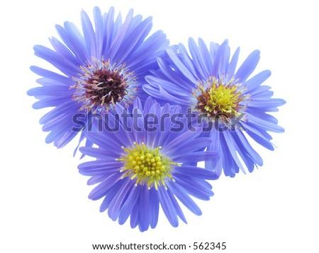 Three purple flowers on white background. - stock photo