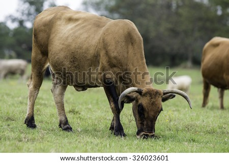 three-quarter view of a red brood cow covered in horn flies grazing on pasture