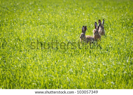 Three rabbits sitting in a meadow