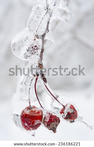 Three red crab apples on branch frozen with ice in winter, close up - stock photo