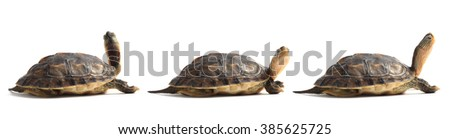 Three red eared slider turtle on white background. - stock photo