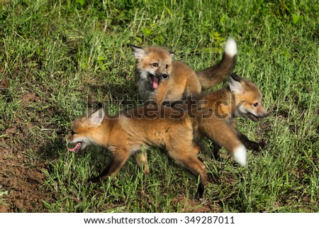 Three Red Fox Kits (Vulpes vulpes) at Play - captive animals - front two kits in motion  - stock photo