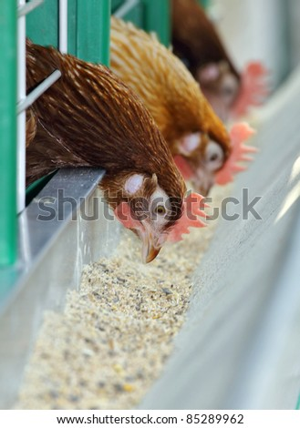 Three red hens in the cage - stock photo