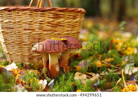 Three red mushrooms in the forest on the background of a wicker basket.