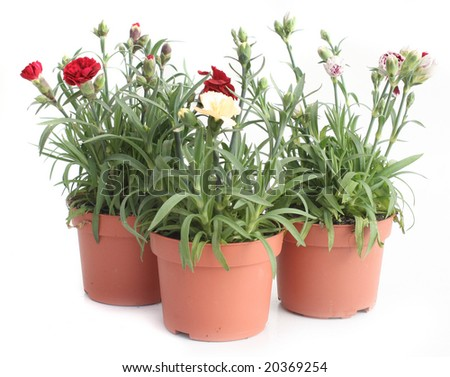 Three red pots with carnation different colors isolated on white - stock photo