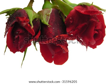 Three red rose with water drops from the top side