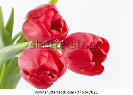 Three red tulips on a white background - stock photo