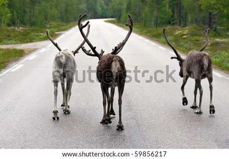 three reindeers walking in the middle of a street without cars - stock photo