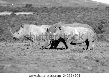 Three rhinoceros in this black and white image. - stock photo