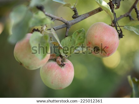 three ripe apples hanging on a branch - stock photo