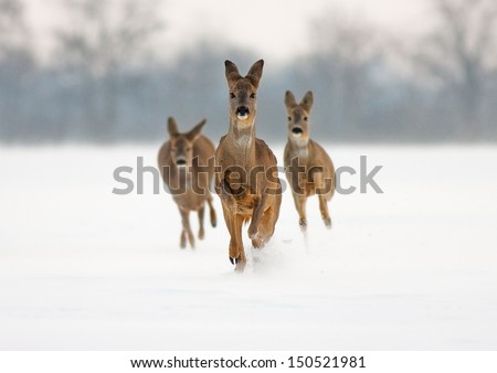 Three roe deer (capreolus capreolus) does running forward in high snow.  - stock photo