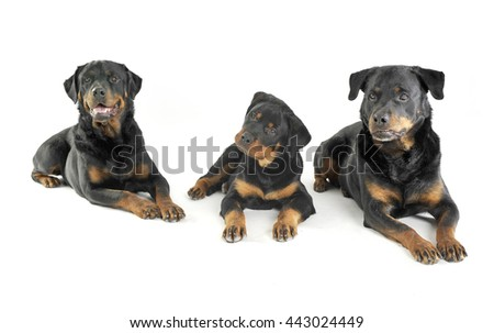 Three Rottweilers are lying in the white studio floor