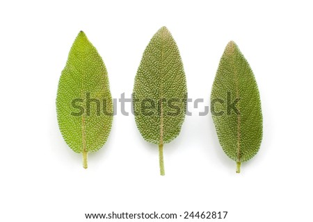 Three sage leaves in a row isolated on white - stock photo