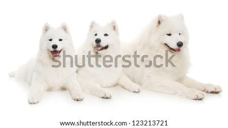 three samoyed dogs on white background - stock photo