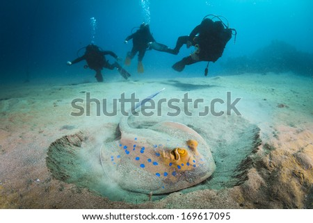 Three scuba divers underwater diving with blue spotted stingray in Sharm el Shaikh, Egypt, Red Sea.