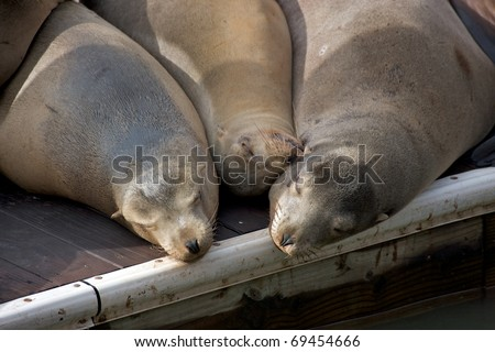 Three sea lions are sleeping in the sun on a dock. - stock photo