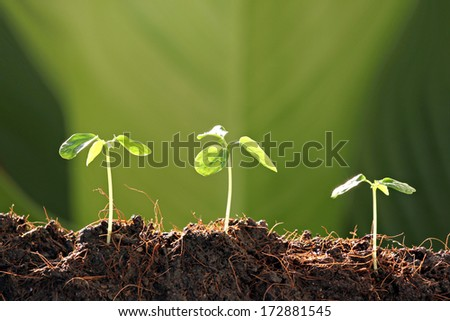 Three Seedlings in vegetable garden and sunlight at morning.