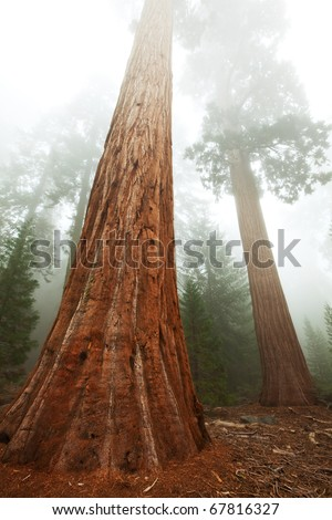 Three  sequoias - stock photo