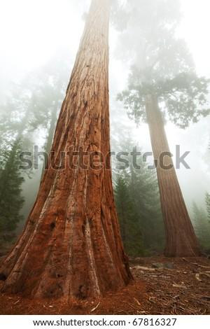Three  sequoias - stock photo