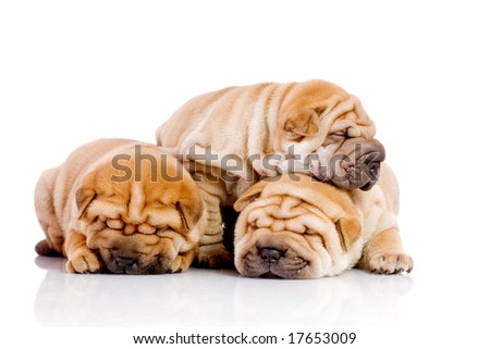 three Shar Pei baby dogs, almost one month old - stock photo