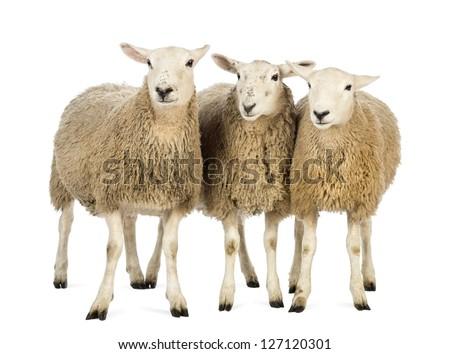 Three Sheep against white background - stock photo