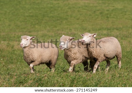 Three Sheep Run Across Pasture - in a row - stock photo