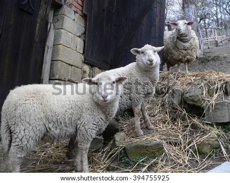 Three sheep standing in a pen on a rural farm - stock photo