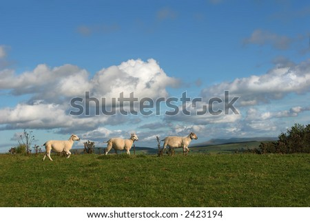 Three sheep walking in a line in rural countryside, with a blue sky and cumulus clouds. View of the Black Mountain range in the Brecon Beacon National Park, Wales, Untied Kingdom, in the far distance. - stock photo
