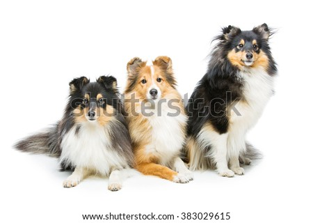 Three sheltie dogs - stock photo