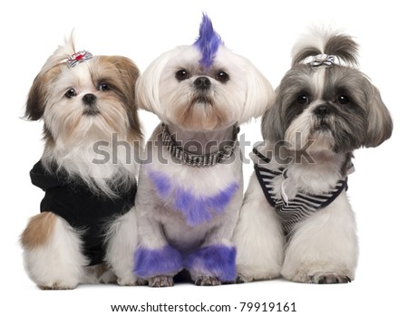 Three Shih Tzus dressed up, 2 years old, 5 months old, and 6 years old, in front of white background - stock photo
