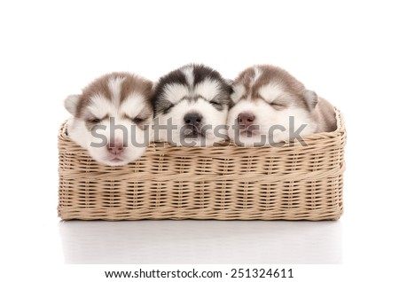 Three siberian husky puppies sleeping in basket on white background isolated - stock photo