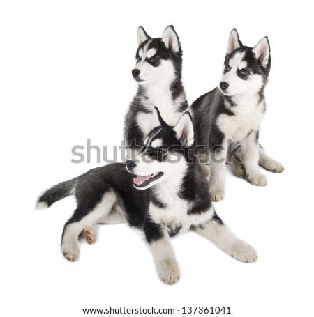 Three Siberian Husky Puppy on white background - stock photo