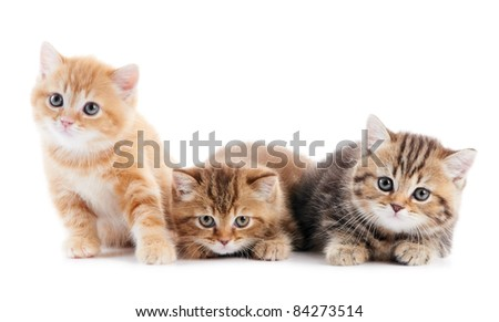Three sitting (lying) british shorthair kittens cat isolated - stock photo
