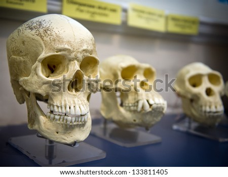 Three skulls in a raw showing humans evolution - stock photo
