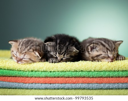 Three sleeping scottish baby kitten on stack of colorful towels - stock photo