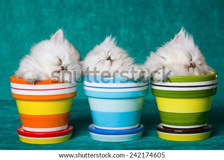Three sleeping Silver Chinchilla kittens in pots containers on green background  - stock photo