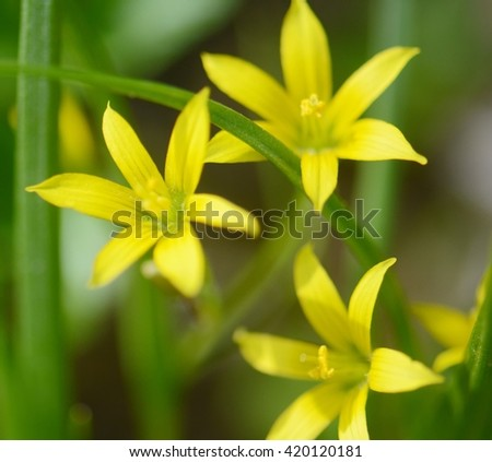 three small, bright yellow spring flowers on a sunny day - stock photo