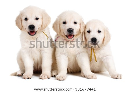 three small cute golden retriever puppy, on white background. Three Labrador puppies, 7 weeks old, in front of white background - stock photo