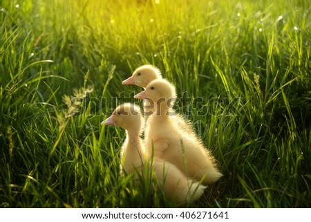 three small ducklings outdoor in on green grass - stock photo