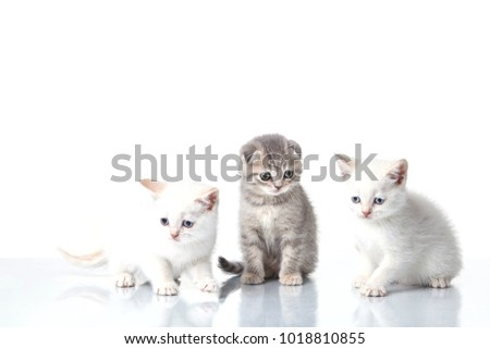 Three small  Scottish Lop eared folds (kittens) isolated on white background