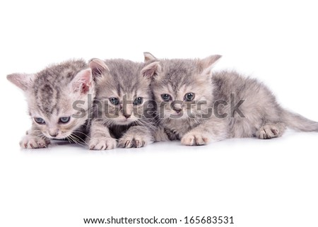 three small striped kittens Scottish marble breed. animals isolated on white background - stock photo