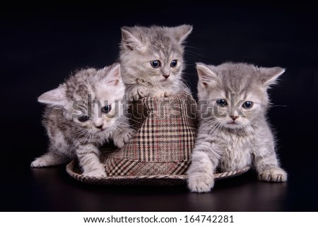 three small striped kittens Scottish marble breed. animals with hat  isolated on black background - stock photo
