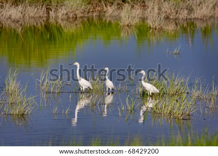 Three Snowy Egrets (Egretta thula) wading in water - stock photo