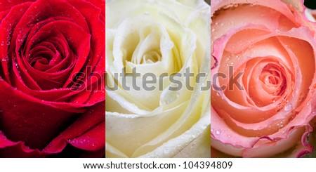 three sorts of roses with raindrops close up - stock photo