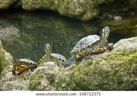 three specimens of yellow ear turtles, freshwater turtles