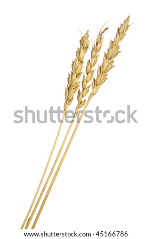 Three spikes of wheat isolated - stock photo