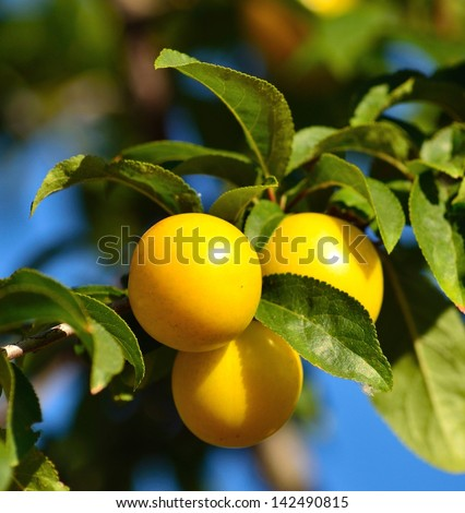 Three splendid yellow plums hanging from a small tree branch among green leaves, with blurred natural background bluish and greenish