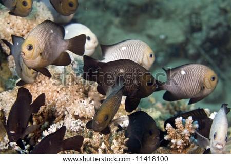 three-spot dascyllus (dascyllus trimaculatus) - stock photo