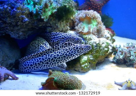 three Spotted moray in coral reef - stock photo