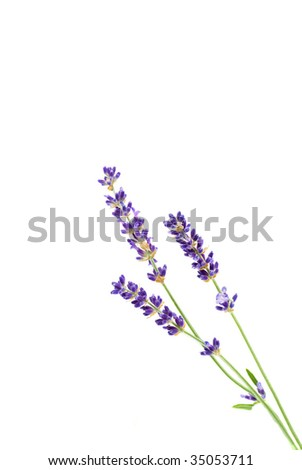 Three Sprigs of Lavender on a White Background - stock photo